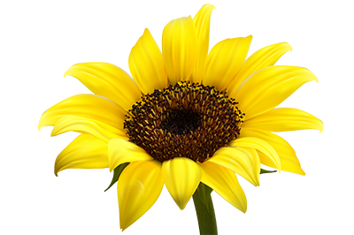 sunflower_PNG13375